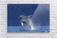 A young Humpback Whale leaps from the calm waters of the Stephens Passage near Tracy Arm, Southeast Alaska, USA.  Acrylic Print