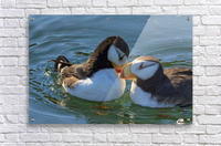Close up of a pair of Horned Puffins being affectionate, Kodiak, Southwest Alaska  Acrylic Print