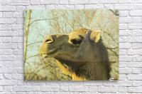 Aribian Camel  Acrylic Print