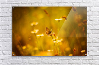 Golden sunset. Daisy and butterfly  Acrylic Print