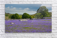 Emsworthy bluebells  Acrylic Print