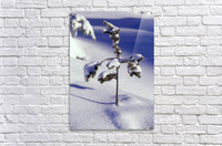 Heavy Snow On Young Pine Tree  Acrylic Print