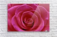 Rose Blossom  Acrylic Print
