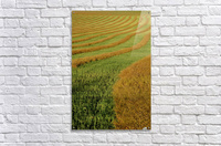 Rows Of Canola Windrows  Acrylic Print