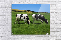 County Cork, Ireland, Dairy Cattle  Acrylic Print