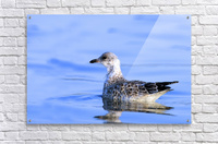 Young Gull Swimming  Acrylic Print