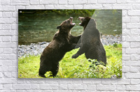 Two Grizzly Bears Fighting  Acrylic Print