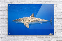 Great White Shark (Carcharodon Carcharias)  Acrylic Print