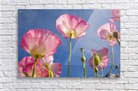 Shirley Poppies  Acrylic Print