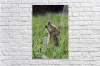 Wolf Puppy Howling In Mountain Meadow  Acrylic Print