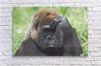 Western Gorilla Portrait With Finger On Brow As If Thinking, Africa  Acrylic Print