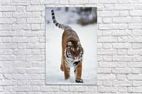 Siberian Tiger In Snow  Acrylic Print