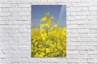 Flowering Canola, Alberta, Canada  Acrylic Print