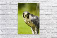Peregrine Falcon (Falco Peregrinus); Windermere, Cumbria, England  Acrylic Print