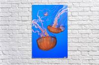 Sea Nettles (Chrysaora Fuscescens) In Monterey Bay Aquarium Display; Monterey, California, United States of America  Acrylic Print