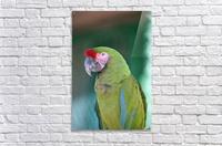 Close up of a parrot;Puerto vallarta mexico  Acrylic Print