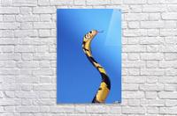 Forest cobra (naja melanoleuca) against a blue background;British columbia canada  Acrylic Print