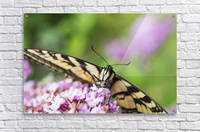 A swallowtail butterfly seeks nectar on a butterfly bush; Astoria, Oregon, United States of America  Acrylic Print