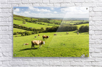Cattle grazing on lush green hilly pastures with trees separating fields; County Kerry, Ireland  Acrylic Print