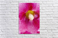 Close up of Hollyhocks (Alcea rosea); Quebec, Canada  Acrylic Print