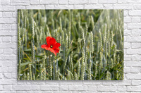 Close up of red poppy in a green wheat field; Brehec, Brittany, France  Acrylic Print