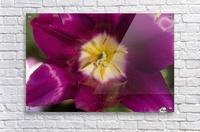 Red tulip, Andre Rieu (tulipa), New York Botanical Garden; New York City, New York, United States of America  Acrylic Print