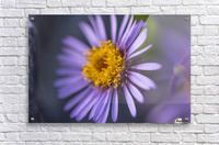 Siberian Aster along the Marsh Fork of the Canning River in the Arctic National Wildlife Refuge, Summer, Alaska    Acrylic Print