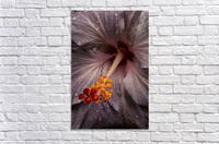 Close up of a Hibiscus flower with water droplets; Hawaii, United States of America  Acrylic Print