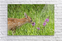 Sitka Black-tailed deer fawn (Odocoileus hemionus sitkensis) munches on fireweed (Chamerion angustifolium) in pasture, captive animal at the Alaska Wildlife Conservation Centre; Portage, Alaska, United States of America  Acrylic Print