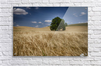 Lone tree in a wheat field; Palouse, Washington, United States of America  Acrylic Print