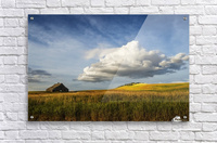 Wheat field and old wooden barn; Palouse, Washington, United States of America  Acrylic Print