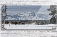 Horses running in the snow on a ranch in winter; Montana, United States of America  Acrylic Print