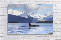 An Orca Whale (Killer Whale) (Orcinus orca) surfaces in Lynn Canal, Herbert Glacier, Inside Passage; Alaska, United States of America  Acrylic Print