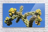 Cactus in bloom  Acrylic Print