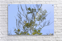 Two Blue Jays in Tree 2 abstract  Acrylic Print