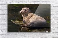 Sea lion posing  Acrylic Print