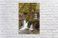 Water flowing through tree roots at Opal Creek Wilderness, Oregon  Acrylic Print