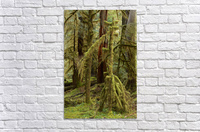 Moss covered tree in the Opal Creek Wilderness, Oregon  Acrylic Print