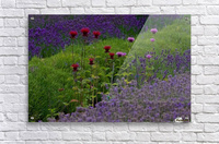 Bee Balm Blooming in Lavender Field  Acrylic Print