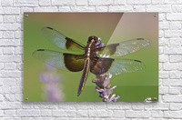 Dragonfly on Lavender  Acrylic Print