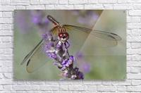 Dragonfly resting on flower.  Acrylic Print