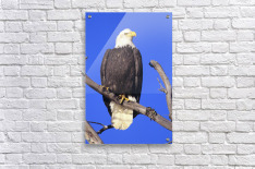 Alaska, Haines Bald Eagle Reserve, Bald Eagle (Haliaeetus Leucocephalus) Perched On A Branch.  Acrylic Print