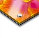 Close-up macro shot of a beautiful orange, pink and yellow Hibiscus flower; Honolulu, Oahu, Hawaii, United States of America Acrylic print