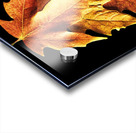 Fall Maple Leaves 1 Acrylic print