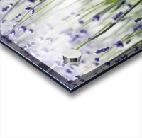 Lavender (Lavandula Angustifolia), Many Sprigs Growing In Field. Acrylic print