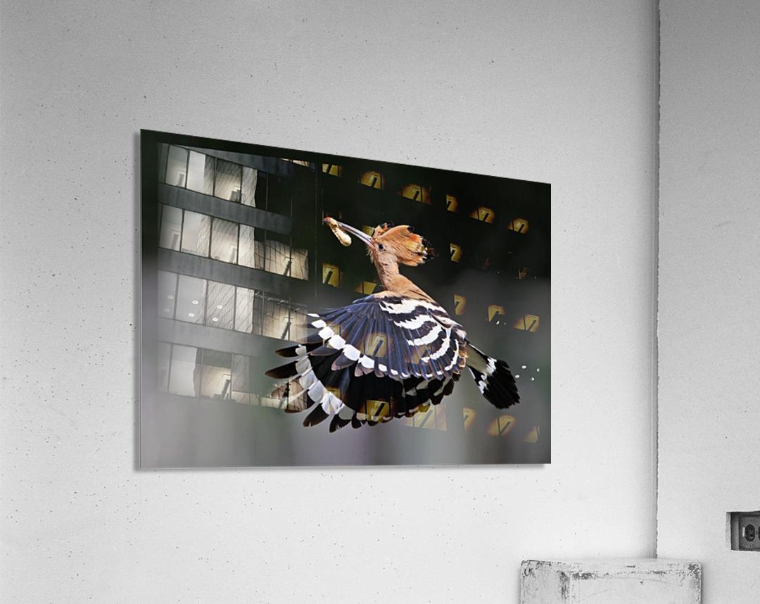 Hoopoe,Feeding..  Acrylic Print