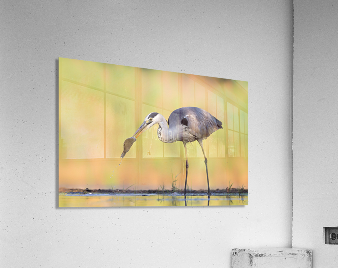 Morning Catch  Acrylic Print
