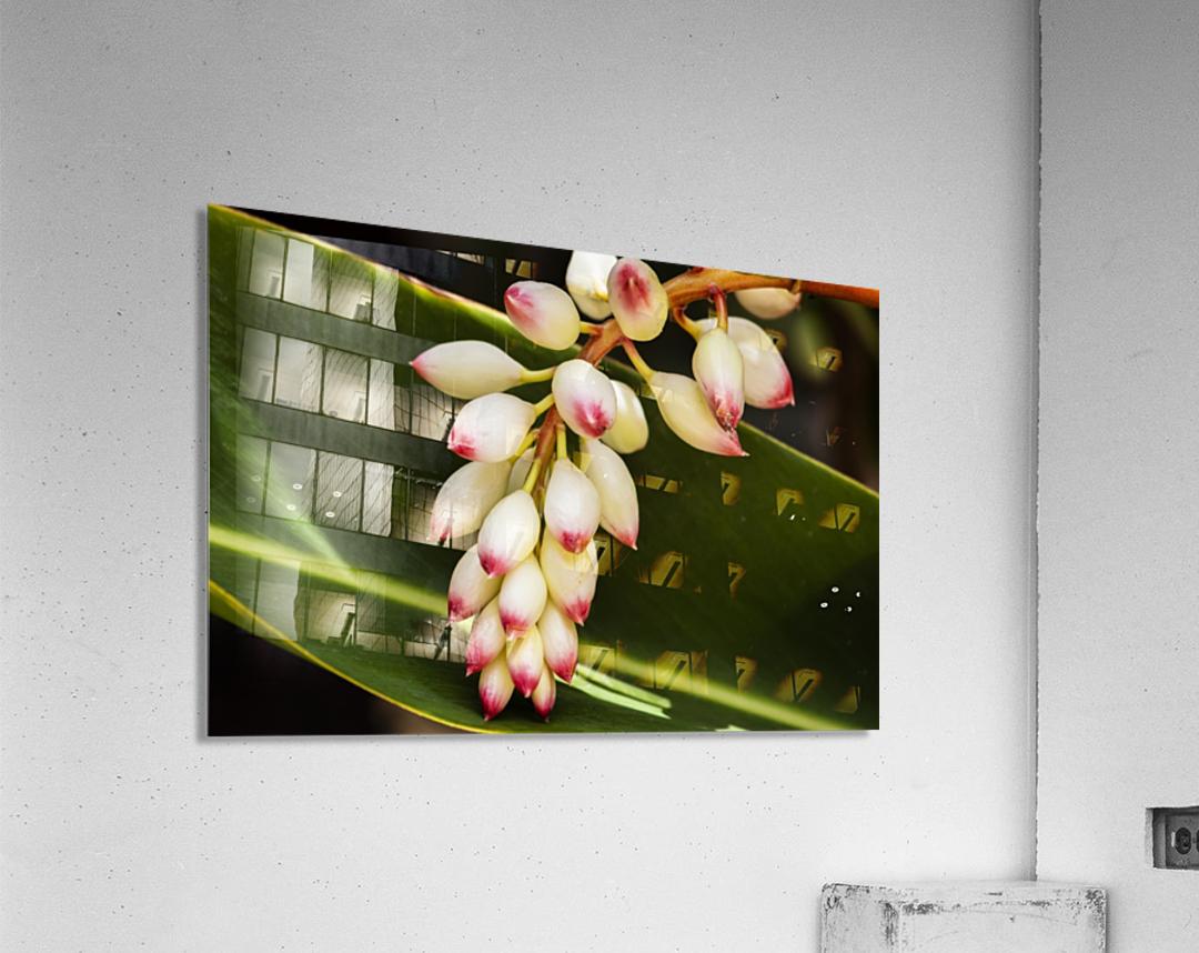 Close-up of white ginger flower Alpinia; Maui, Hawaii, United States of America  Acrylic Print