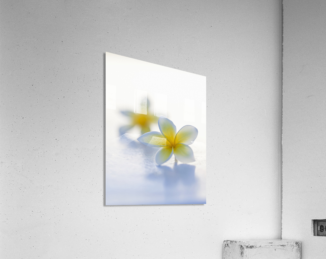 Close-up of two beautiful yellow Plumeria flowers (Apocynaceae) in soft focus; Honolulu, Oahu, Hawaii, United States of America  Acrylic Print