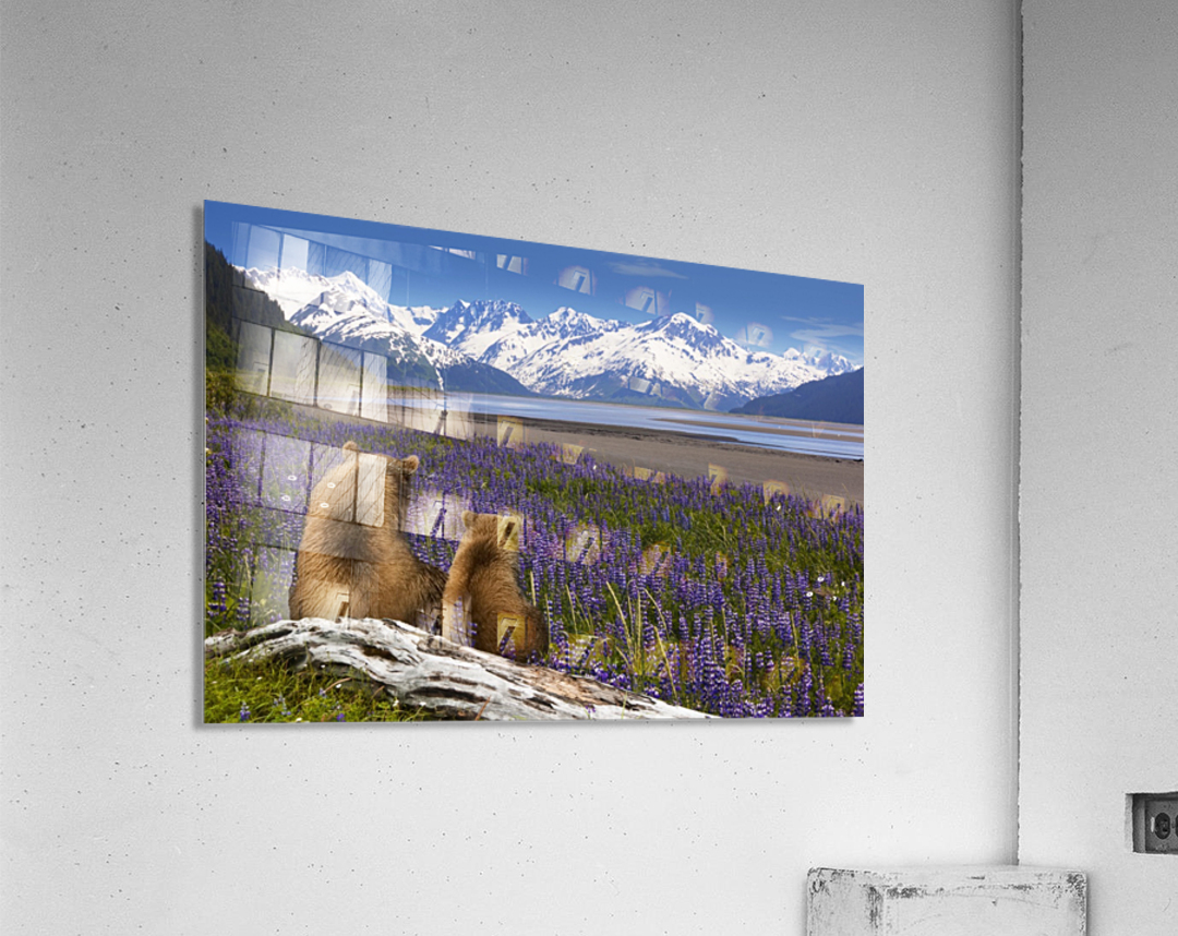 COMPOSITE: Grizzly Sow & cub sit in lupine along Seward Highway, Turnagain Arm, Southcentral Alaska  Acrylic Print